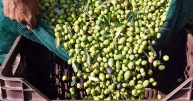 olive al mosto