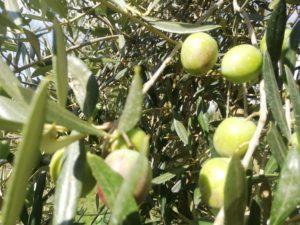 Olive cultivar itrana