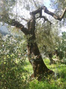 Albero di olivo Itri