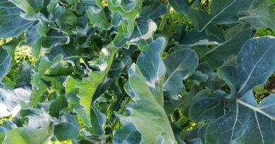 broccoli di natale