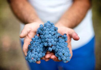 Aglianico, dal 75 d.C. al 2021, storia di un gran vitigno